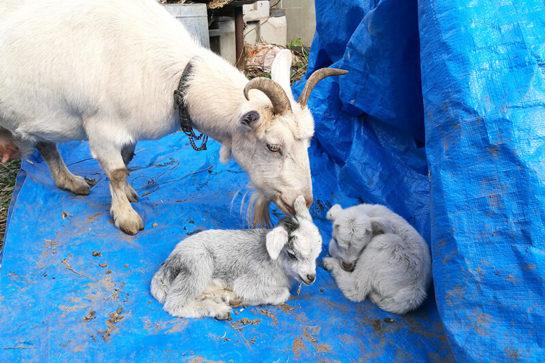 双子のヤギの赤ちゃん誕生